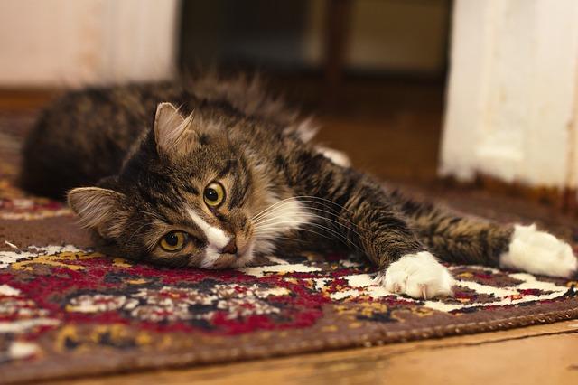 kočka na koberci.jpg