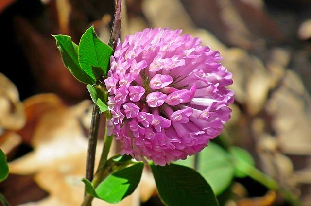 květ vojtěšky